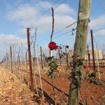 Rose in Tenuta Liliana Vineyard