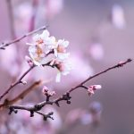 Almond trees in bloom in mid-January